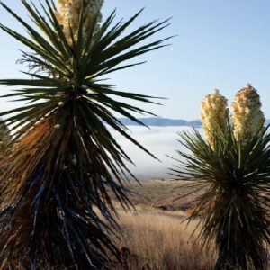 Photo image of a Yucca plant